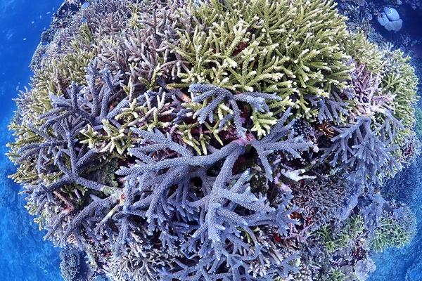 サンゴの白化現象について