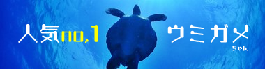 石垣島で大人気のウミガメ